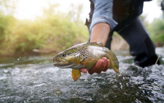 ouverture de la pêche de la truite